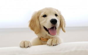 cute-dog-golden-retriever-pictures