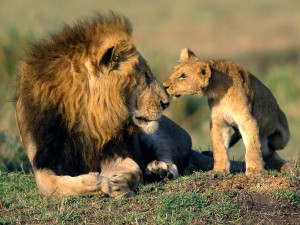 pictures_of_lions_free1