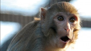 rhesus-macaques-960x540