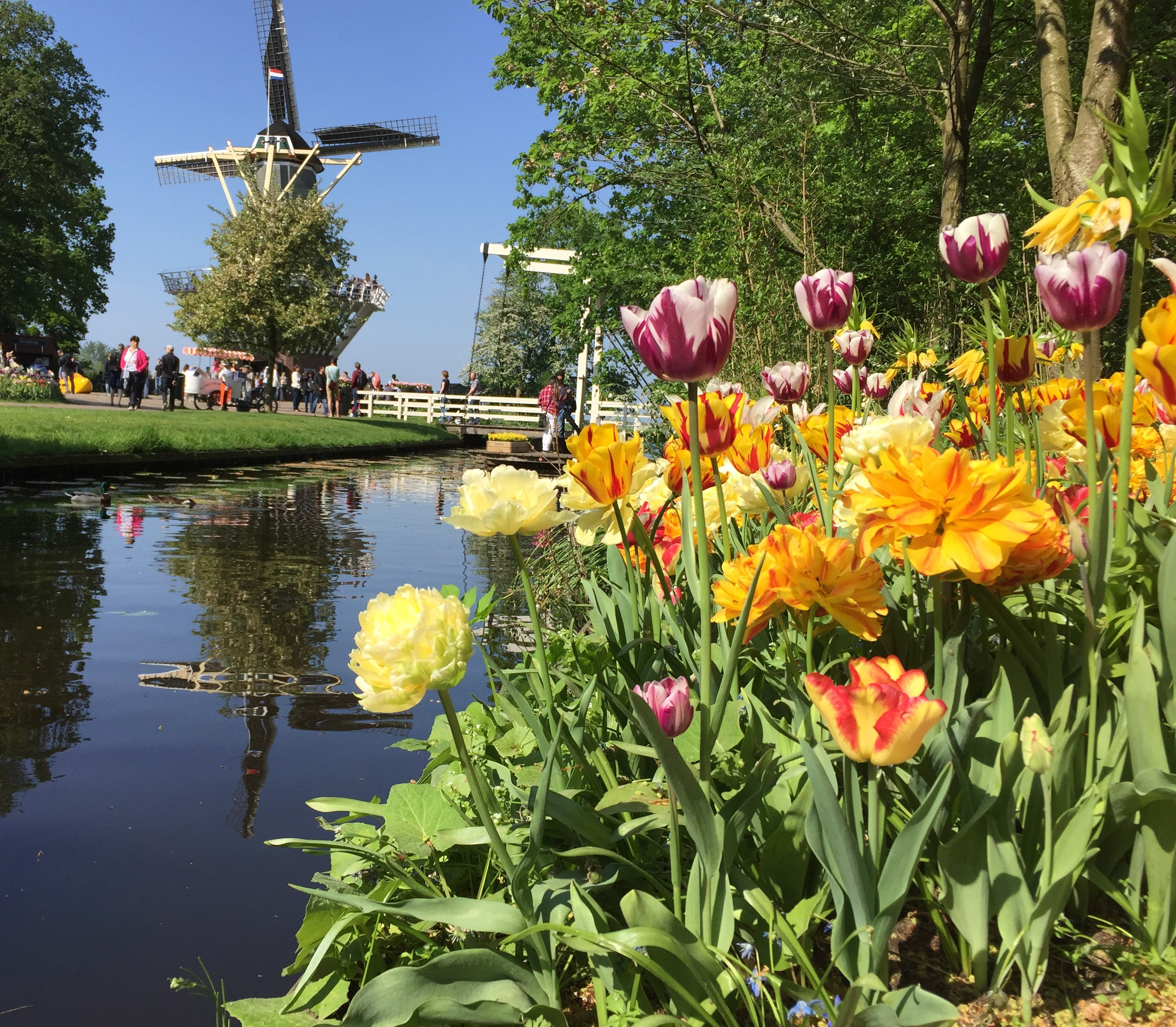 Tulips and Windmill by water