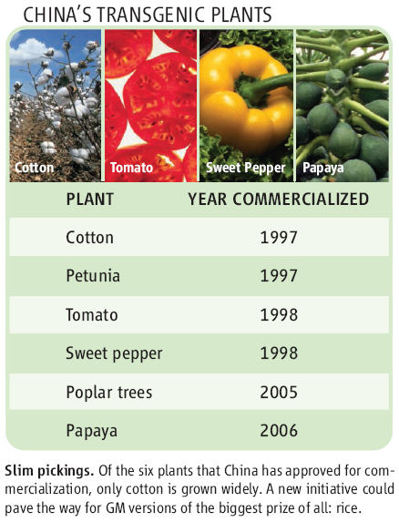Chart shows that of the six plants that China has approved for commercialization, only cotton is grown widely. A new initiative could pave the way for GM versions of the biggest prize of all: rice.
