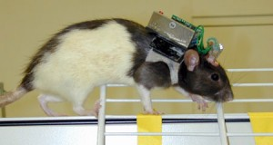 roboter-rat-brain-controlled-cyborg-pet