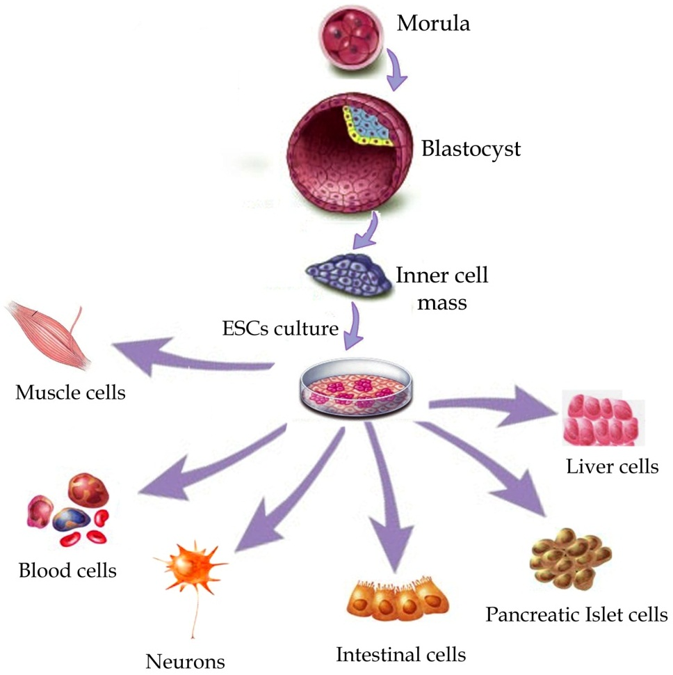 The Benefits Of Stem Cell Research Httpwwwintechopencomsourcehtml